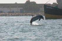Pisco, ein GRD-Patendelfin aus Peru by Gesellschaft zur Rettung der Delphine e.V.